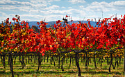Fall Landscape Print Framed Prints - Flaming Vineyard Framed Print by Steven Ainsworth