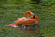 Flamingo Bath Print by Robert Carney