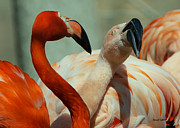 Stephen  Johnson - Flamingo Courtship