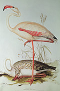 Nature Study Painting Metal Prints - Flamingo Metal Print by Edward Lear