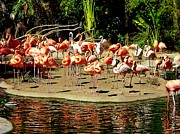 Flocks Prints - Flamingo Family Reunion Print by Karen Wiles