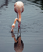 Lawrence Graves - Flamingo fishing