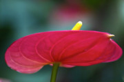 Red - Flamingo Flower 1 by Heiko Koehrer-Wagner