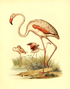 Antique Digital Art Prints - Flamingo Print by Gary Grayson