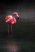 Flamingo  Print by Hannes Cmarits