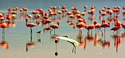 Flocks Of Birds Prints - Flamingo in Flight Print by Amanda Stadther