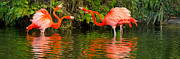 Doubles Prints - Flamingo Panorama Print by Les Palenik