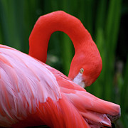 Bob and Jan Shriner - Flamingo Preening