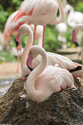Flamingo Rest On Ground Print by Tosporn Preede