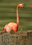 Flamingo Prints - Flamingo Speaks Print by Bill Tiepelman
