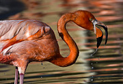 Zoo Animals Photos - Flamingo Splash by Dave Dilli