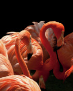 Flamingoes Art - Flamingoes by Rick Piper Photography