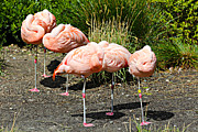Paul Fell - Flamingos at Rest
