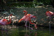 Leia Burt Art - Flamingos at the Zoo by Leia Burt