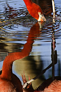 Flamingos Acrylic Prints - Flamino Reflections 1 Acrylic Print by Dave Dilli
