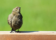 Baby Bird Photos - Fledgling Grackle by Christy Patino