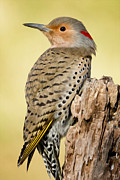 Woodpecker Art - Flicker by Bill  Wakeley