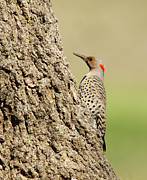 Flicker Framed Prints - Flicker On Tree Trunk Framed Print by Robert Frederick