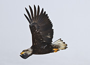 Bald Eagle Photo Framed Prints - Flight Framed Print by Mike  Dawson