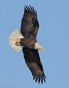 Bird In Flight Pyrography Acrylic Prints - Flight of a Bald Eagle Acrylic Print by Daniel Behm