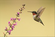 Hummingbird Pyrography Acrylic Prints - Flight of a Hummingbird Acrylic Print by Daniel Behm