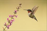 Flight Of A Hummingbird Print by Daniel Behm