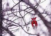 Male Cardinal Framed Prints - Flight Of A Winter Cardinal Framed Print by Bill Tiepelman