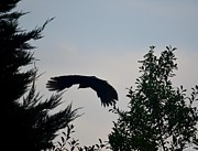Maria Urso - Artist And Photographer Acrylic Prints - Flight of the Black Crow Acrylic Print by Maria Urso - Artist and Photographer
