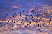 Silhouetted Metal Prints - Flight of the BlackBirds Metal Print by Darren Fisher