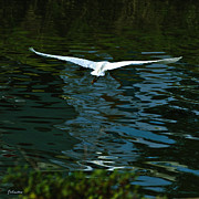 Flight Of The Egret Print by Nadine and Bob Johnston
