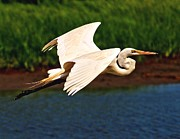 Nick Zelinsky - Flight of the Egret