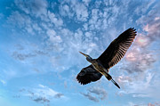 Blue Bird Metal Prints - Flight Of The Heron Metal Print by Bob Orsillo