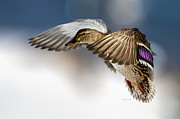 Female Metal Prints - Flight of the Mallard Metal Print by Bob Orsillo