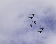 Greyhound Photos - Flight Of The Pintails 1 by Thomas Young