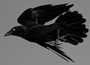 Raven Photos - Flight of the Raven by Bruce J Robinson