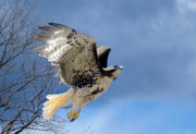 Red Tailed Hawk Posters - Flight of the Red tail Poster by Bill  Wakeley
