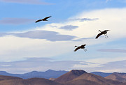 Sandhill Crane Framed Prints - Flight of the Sandhill Cranes Framed Print by Mike  Dawson