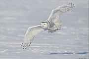 Flight Of The Snowy Print by Daniel Behm