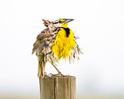 Scruffy Posters - Flluffy Meadowlark Poster by Bill Swindaman