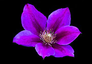 Vigorous Posters - Floating Clematis Poster by Robert Bales