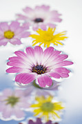 Reflected Prints - Floating flowers Print by Tim Gainey