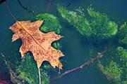 Floating Leaf  Print by Karen Adams
