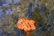 Autumn Leaf On Water Metal Prints - Floating Leaf Metal Print by Paula Tohline Calhoun