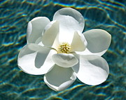 White Magnolias Posters - Floating Magnolia Poster by Carol Groenen