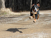 Greater Swiss Mountain Dog Prints - Floating On Air Print by Aaron Aldrich