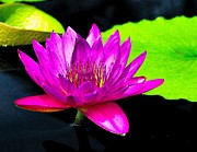 Pad Framed Prints - Floating Purple Water Lily Framed Print by Nick Zelinsky