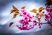 Crab Apple Tree Blossoms Prints - Floating To Earth Print by Bob Orsillo