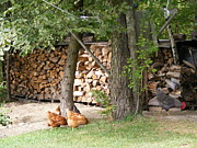 Vermont Rooster Prints - Flock at the woodpile in the evening Print by Susan Russo