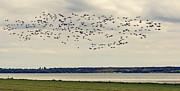 Flock Of Birds Print by Svetlana Sewell