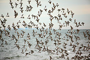 Sea Birds Posters - Flock of Dunlin Poster by Karol  Livote